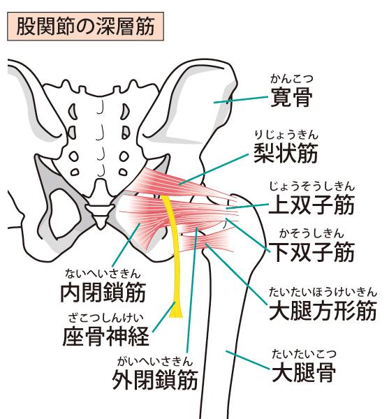 梨状筋図2